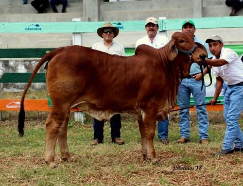 2018 Exposición Nacional de Cebú en Petén Guatemala; Añoja Champion