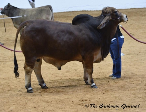 2018 Fort Worth Stock Show & Rodeo Brahman Cattle Show; Reserve Grand & Junior Champion Red Bull