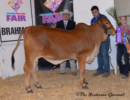 2018 South Florida Fair Open Brahman Show; Calf Champion Red Female